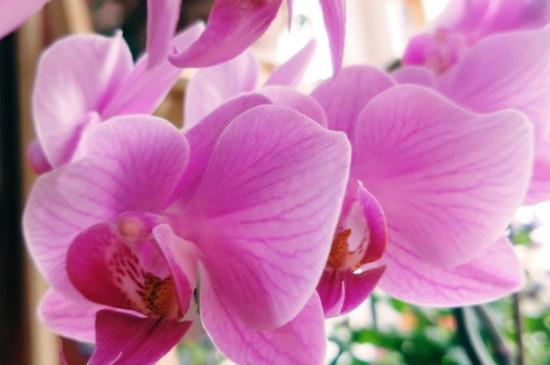 蝴蝶兰花剑要生几节才开花