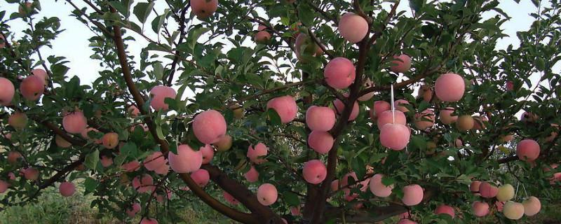苹果树施肥最佳时间和方法及配方