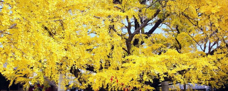 銀杏樹是什么顏色的