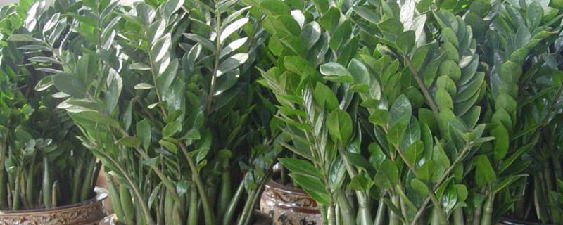金钱树的养殖方法和注意事项叶子发黄原因