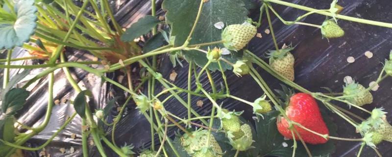 草莓苗移栽几天可以晒太阳