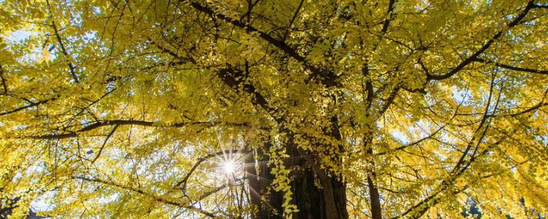 潭柘寺的銀杏樹什么時候黃