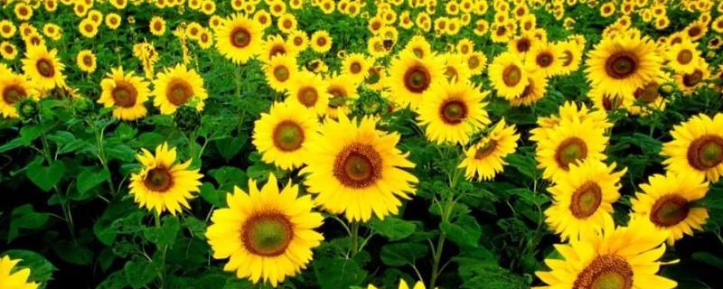 向日葵的一生8个阶段