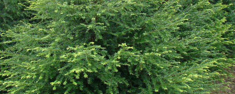 红豆杉叶子发黄干枯怎么回事