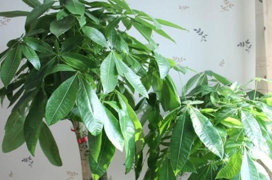 领导办公室适合放什么绿植