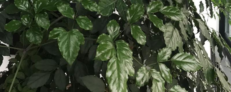 幸福树为什么长出新芽就黑了