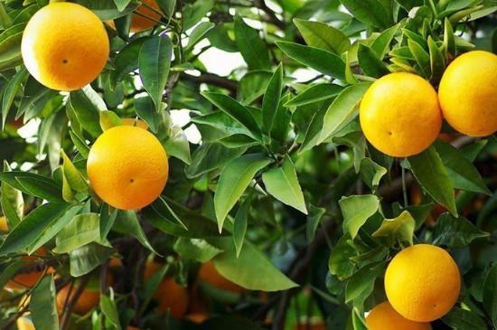 桔子树叶子发黄的原因及防治