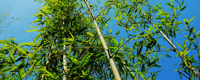 竹子怎么修剪让它长得粗壮