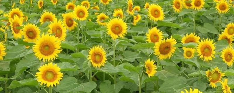向日葵是秋天开的吗