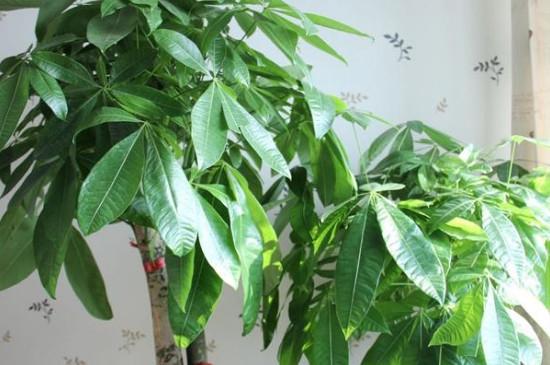 发财树叶片向下垂怎么能提起来