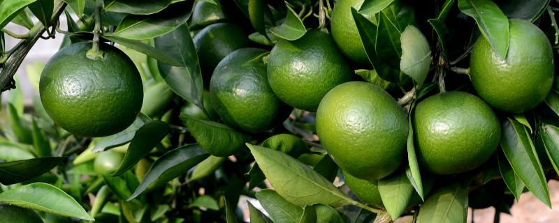 柑橘防冻最有效措施
