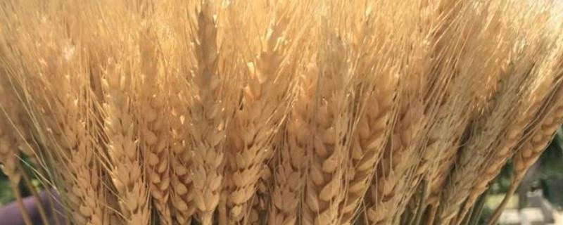 麦穗干花的寓意是什么