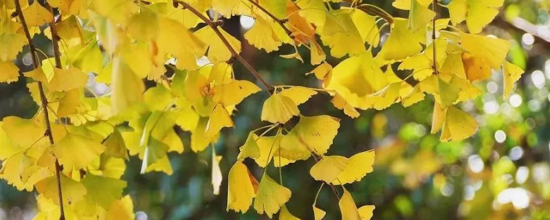 银杏叶变黄的原理
