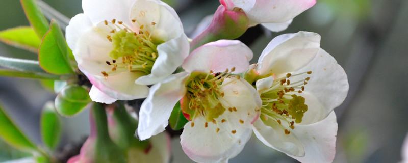 木本海棠花的养殖方法和注意事项有