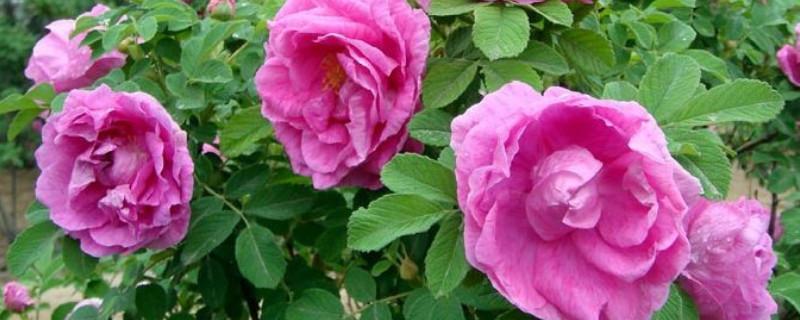 食用玫瑰花的種植方法及養護
