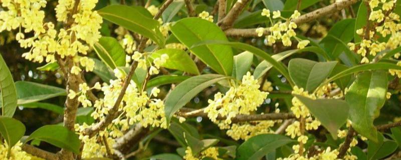 桂花树秋季移栽后怎样管理