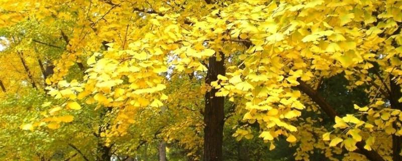 銀杏是落葉還是常綠樹
