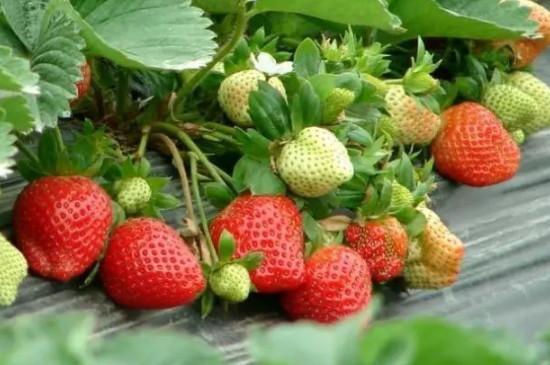 红颜草莓品种介绍