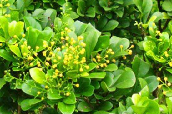 米兰花叶子发黄掉叶子是怎么回事呀