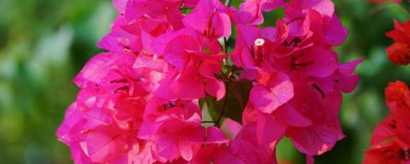 三角梅是哪里的市花