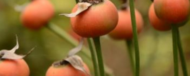 月季种子的种植方法和时间