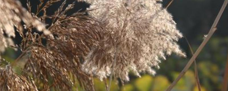 芦苇花的寓意
