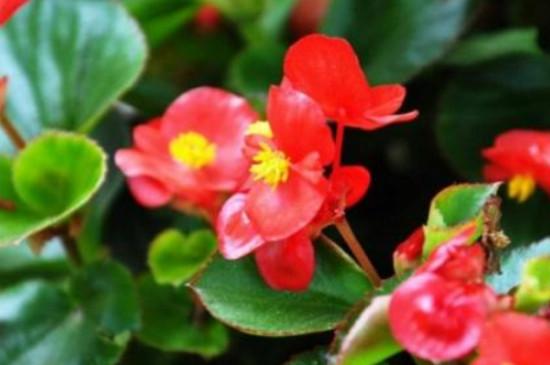 长寿海棠花的养殖方法冬季怎样养护