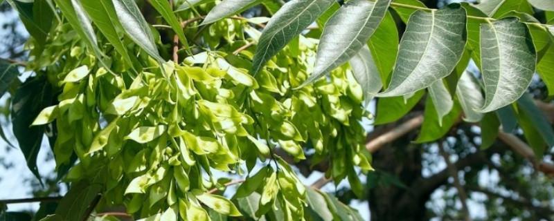 椿木是什么树
