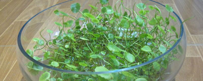 銅錢草冬季的養殖方法和注意事項