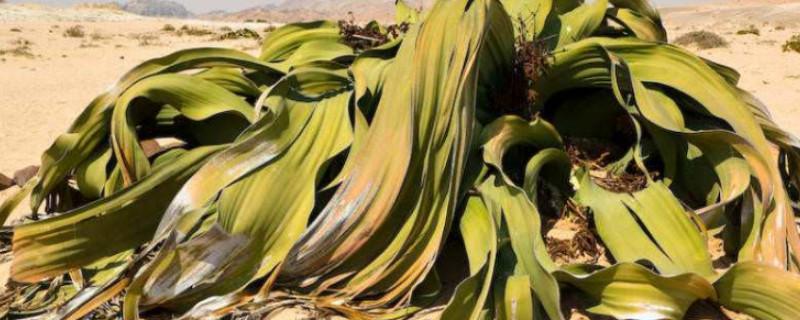 叶子被称为超级寿星的植物是什么