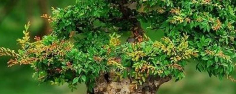 小葉榆樹的養殖方法和注意事項