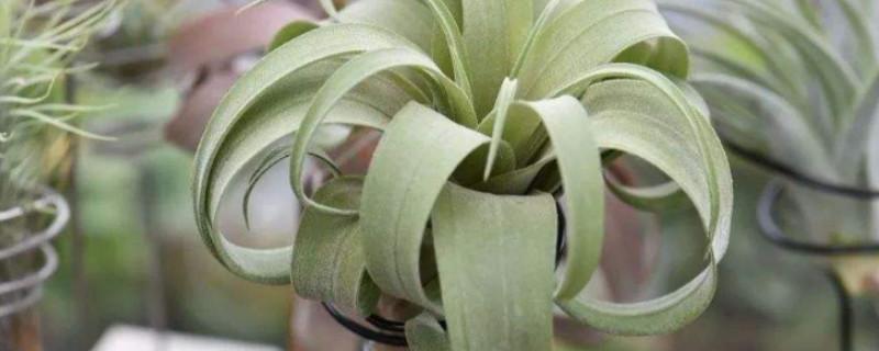 空气凤梨的花语和象征