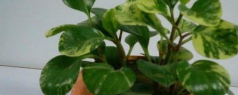 豆瓣绿叶子发黄是什么原因