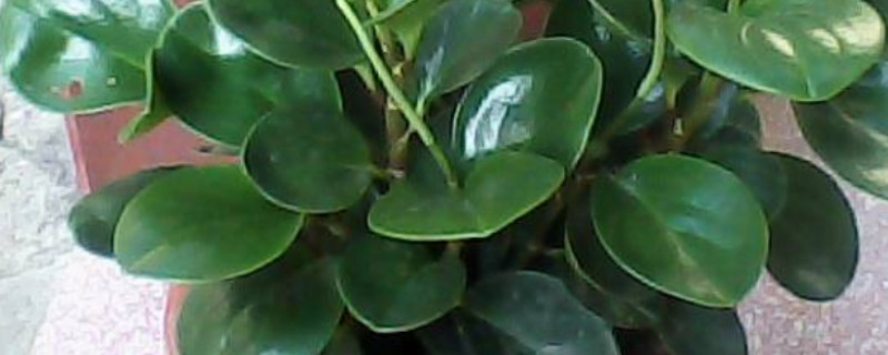 豆瓣绿怎么繁殖