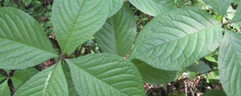 豆瓣绿怎么种植方法
