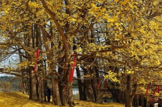 中国五大最古老银杏树