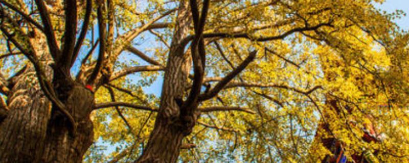 中國五大最古老銀杏樹