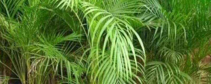 散尾葵叶子发黄发干如何补救怎么办