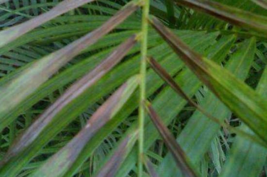 散尾葵叶尖发黑干枯