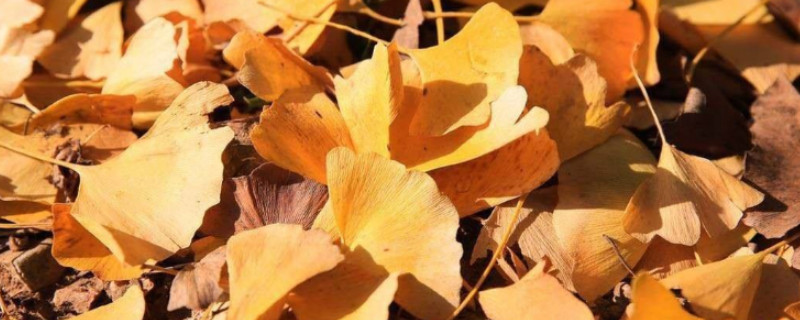 银杏叶什么时候落叶