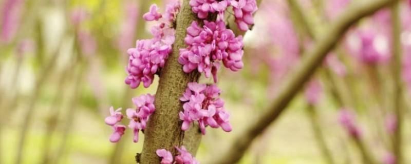紫薇和玉兰哪种被称为痒痒树