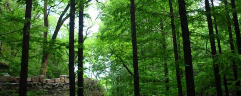 杉树的寓意