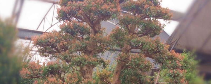 红杨盆景有什么寓意