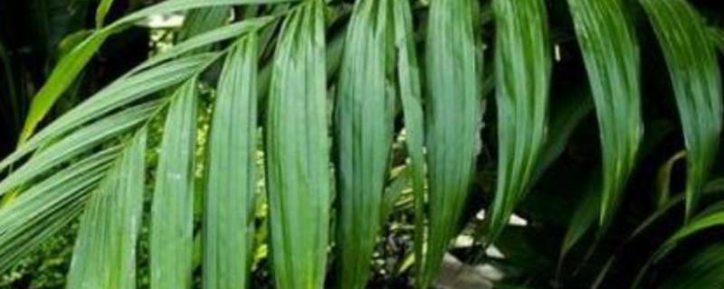 散尾葵凤尾竹的养殖方法和注意事项