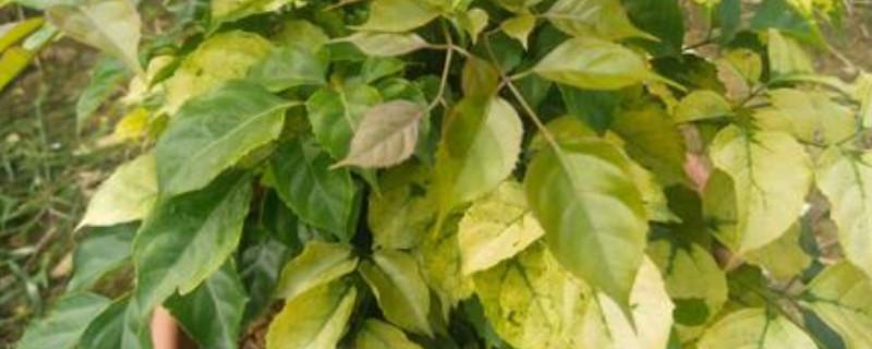 幸福树叶子一碰就掉,叶子发干怎么办
