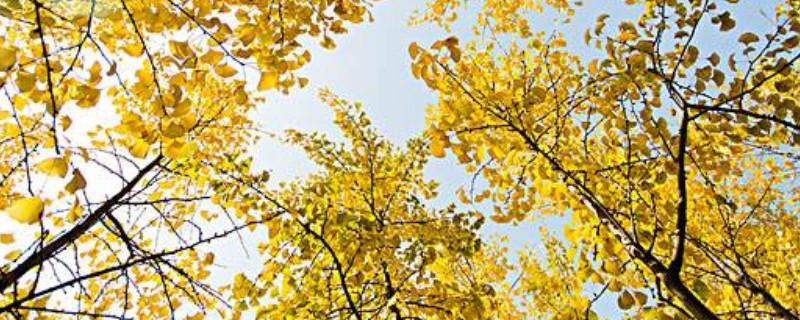 銀杏樹分公樹和母樹嗎