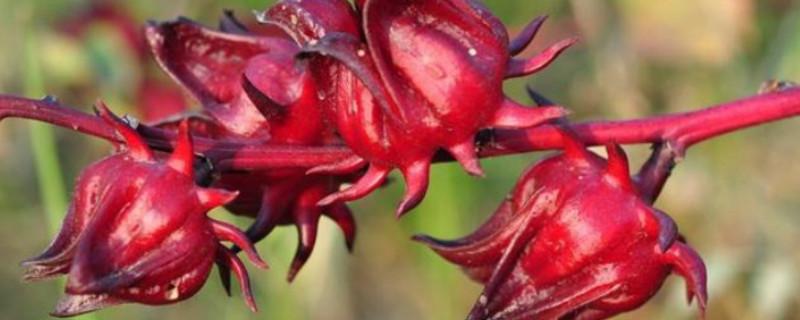 红桃k种植方法和时间和地域