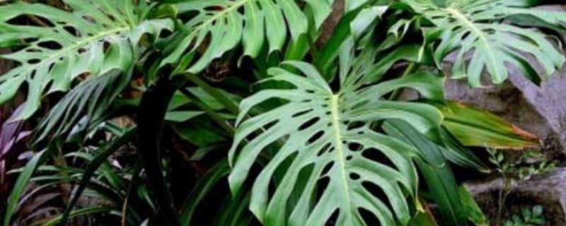 龜背竹能吸甲醛嗎