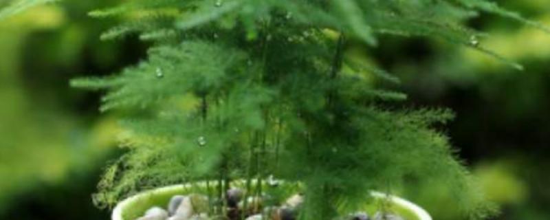 怎样判断文竹是否该浇水了