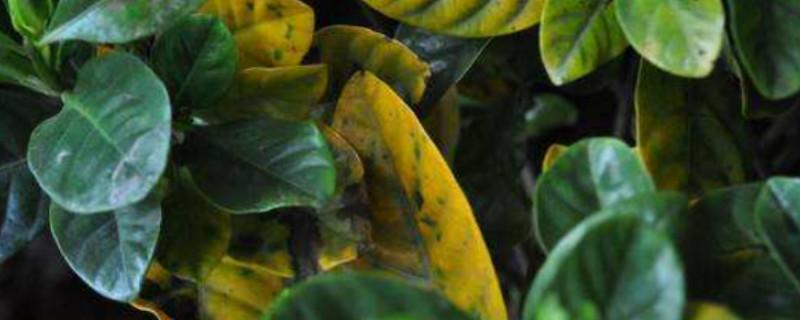 栀子花黄叶落叶怎么处理什么原因